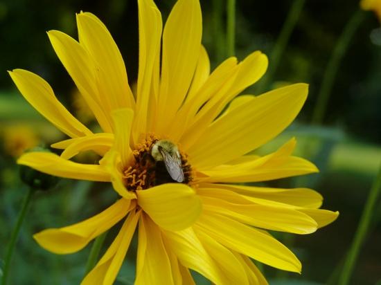 flower-bee1